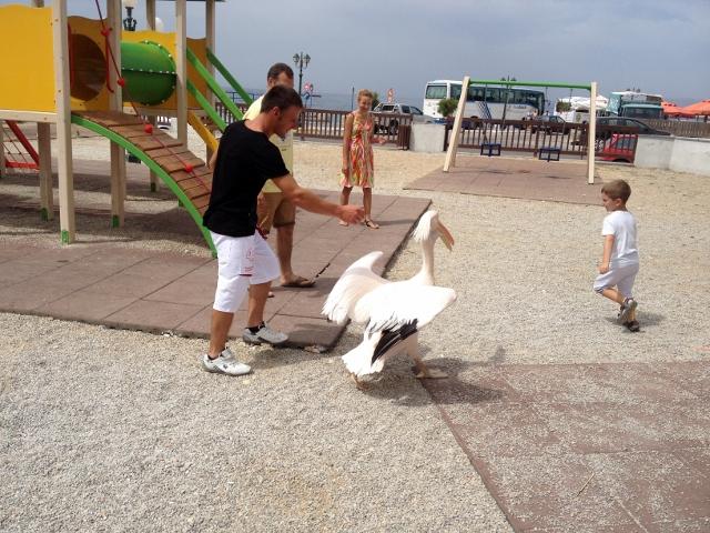 Tinos Town Pelican